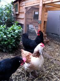 Backyard Chicken Blog by The Eugene Backyard Farmer Blog