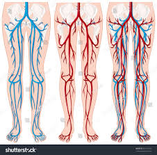 Foot Vascular Anatomy Blood Vessels Human Legs Illustration Stock Vector 451111012