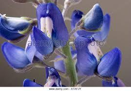 Bluebonnet Flowers - bluebonnet macro stock photos u0026 bluebonnet macro stock images alamy