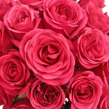 raspberry pink rose