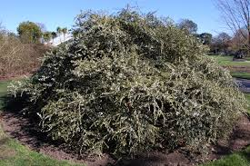 Fragrant Olive Plant Osmanthus Delavayi Landscape Architect U0027s Pages
