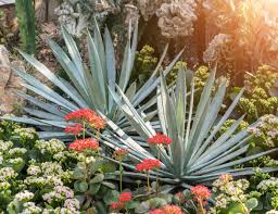 succulent facts five fast facts about agave the bubbly professor