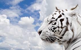 beautiful white tiger wallpaper 2267 open walls