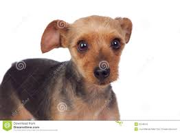 yorkshire terrier short haircuts find hairstyle