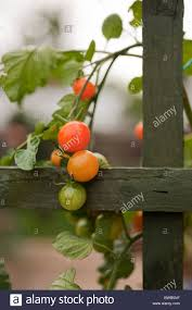 red and green vine tomatoes growing on a trellis stock photo