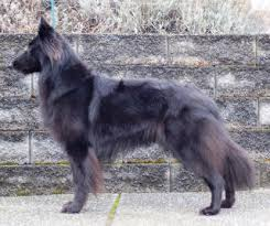 belgian sheepdog oregon litters reverie belgian sheepdogs