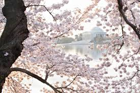 nps rangers offer free tours during cherry blossom festival wtop