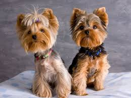 haircuts for yorkies with thin hair 17 best images about yorkies adorable on pinterest amigos the