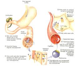 the science behind fat metabolism u2013 ketoschool
