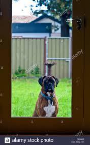 2 female boxer dogs together female boxer dog stock photos u0026 female boxer dog stock images