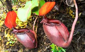 Plants In The Tropical Rain Forest - bbc nature tropical pitcher plants videos news and facts