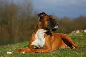boxer dog tail docking boxer dog size basic info boxer dog info and health tips