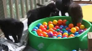 belgian sheepdog pups blackforest belgian sheepdog puppies b litter lucy x tuisku youtube