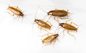 light brown roach looking bug german cockroaches economy exterminators