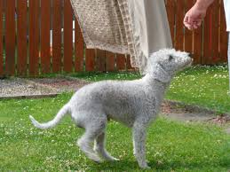 grooming a bedlington terrier puppy bedlington terrier pictures breeders rescue temperament