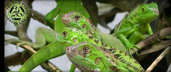 imágenes de iguanas verdes iguana verde green life