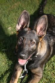 belgian shepherd townsville 105 best paw enforcement images on pinterest police dogs