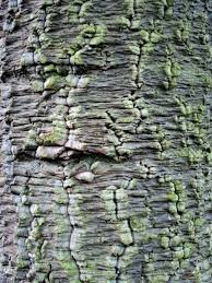 46 best bark images on pinterest tree bark old trees and plants