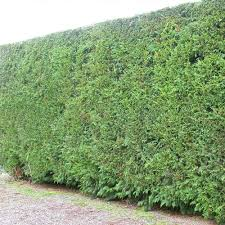 native screening plants fast growing fast growing garden hedges