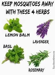 herbs that keep mosquitoes away decking spring and herbs