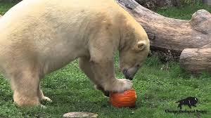 halloween pumpkin treats at brookfield zoo youtube