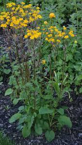 golden ragwort archives the obsessive neurotic gardener