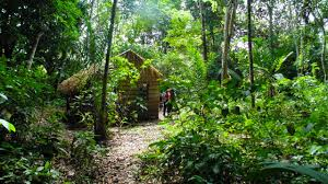 amazon rainforest native plants hundreds of years later plants domesticated by ancient