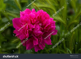 big blooming red peony flowers spring stock photo 543258748