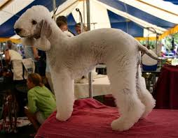 feeding a bedlington terrier 10 of the strangest looking dogs dog reflections