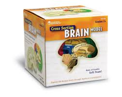 amazon com learning resources cross section brain model toys u0026 games