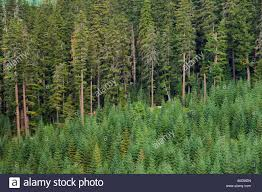 douglas fir trees in logged and replanted forest willamette