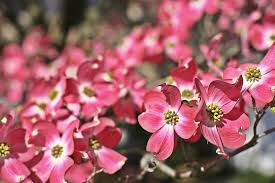 dogwood flowers consider these flowering trees and shrubs for your landscape