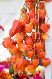 lantern flower dried orange lantern flowers on display stock photo