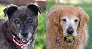 Comfort Retrievers For Adoption Available Dogs At Homeward Bound Golden Retriever Rescue