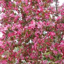 malus rudolph pink flowering crab apple trees for sale