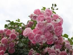 K He Rosa Kaufen Kletterrose U0027jasmina U0027 Adr Rose Rosa U0027jasmina U0027 Adr Rose