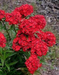 dianthus flower dianthus barbatus scarlet fever ppaf scarlet fever perennial