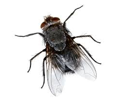 Getting Rid Of Flies In Backyard How To Get Rid Of House Flies Naturally Chipptips