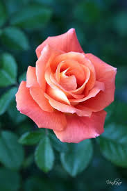 roses colors best 25 coral roses ideas on pretty flowers