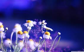 pretty wallpapers for desktop beautiful chamomile flowers hd desktop wallpaper high definition