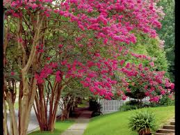 Origination Of Halloween by History Of Crepe Myrtles In The South Southern Living