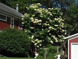 72 best ornamental trees images on plants flowering