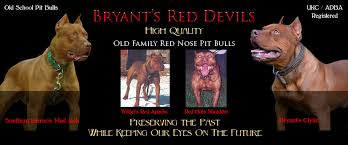 american pitbull terrier kennels in arizona bryant u0027s red devils old family red nose pit bull breeders kennels