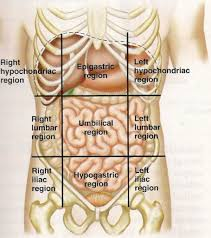 Picture Of The Abdomen Organs Anatomy Of Abdomen Organs Diagram Of Female Organs Human Anatomy