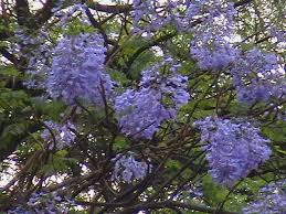 tree with purple flowers indian travel flowering trees jacaranda