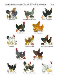 Best Backyard Chicken Breed by What Do You Need To Know About Getting Chickens How Can You Be