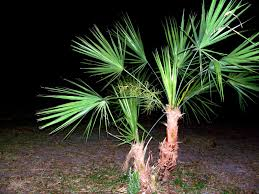 palm tree photo files 1401657 freeimages com