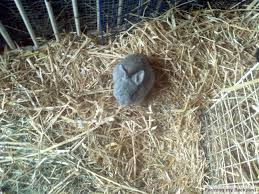 colony raising rabbits how to get started meat rabbits rabbit