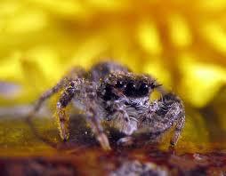 Male Spider Anatomy Spiders Psychology Wiki Fandom Powered By Wikia