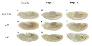 programmed cell death of primordial germ cells in drosophila is